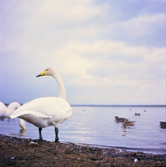 lifelong traveler (minou*) Tags: blue white lake 6x6 film yellow rollei cord swan hokkaido traveler rolleicord lifelong utonai tomakomai