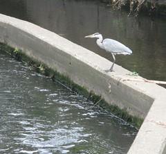 Heron on the Wandle