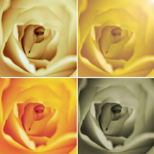 20/365 : Roses
