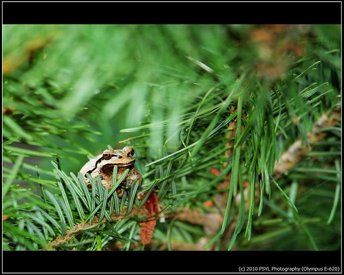 Pacific Treefrog (Hyla regilla)