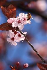 Plum blossoms (kth517) Tags: spring australia melbourne victoria 澳洲 plumblossoms southmelbourne 春天 梅花 墨爾本 topest 維多利亞州