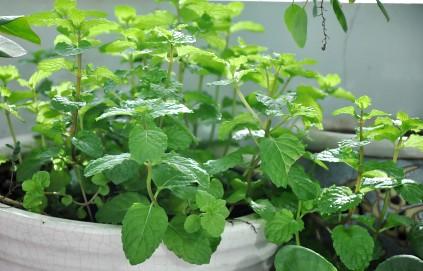 rau thơm tự trồng