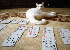 Zilla Plays Solitaire (SOMETHiNG MONUMENTAL) Tags: pet white cat cards carpet nikon floor solitaire d60 somethingmonumental mandycrandell