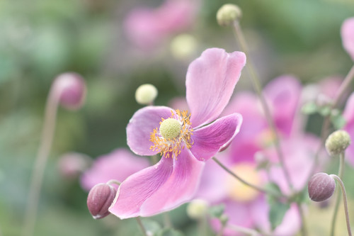Smooth Anemone with a Pinch of Chaos in Pink