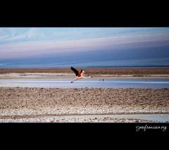 Despegue | Takeoff (josefrancisco.salgado) Tags: chile bird fauna nikon desert flamingo ave desierto nikkor salar cl flamenco d3 pájaro sanpedrodeatacama salardeatacama saltflat desiertodeatacama atacamadesert repúblicadechile 70300mmf4556gvr reservanacionallosflamencos republicofchile iiregióndeantofagasta provinciadeelloa