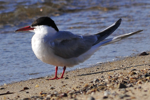 tern red legs and bill