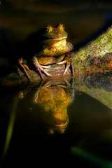 A Reflecting Frog (jcowboy) Tags: nature animal animals japan asia wildlife frog frogs aichi 2010 obu september2010 hoshinaike