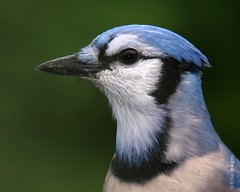 Blue jay / Geai bleu (Eric Bgin) Tags: portrait bird nature jay wildlife nat olympus bluejay ornithology oiseau naturesfinest geai sigma135400mm ornithologie supershot specanimal geaibleu e520 ericbegin