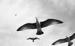 soaring gulls (Tanya Skvortsova) Tags: uk travel england blackandwhite bw film mono brighton nikonf100 analogue foma fujineopan400 selfdeveloped fujineopan epsonv700 film:iso=400 film:brand=fuji fomadonlqn nikkor50mmf14g fomafomadonlqn developer:brand=foma film:name=fujineopan400 developer:name=fomafomadonlqn filmdev:recipe=6076