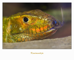 IMG_6081 (Arie van Tilborg) Tags: zoo blijdorp reptielen rotterdamzoo arievantilborg kaaimanteju