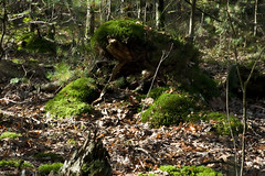 IMG_9140 (taliesin-DS) Tags: trees fall mushroom leaves forest mos bomen herfst bos heide paddestoelen bladeren wezepsche wezepse