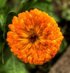 HDR Orange Flower (pepemczolz) Tags: orange flower green petals bright hdr