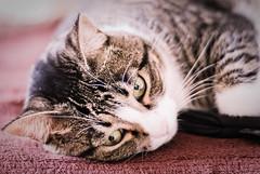 Ginebra (toby1784) Tags: animal cat tiere warm fotografie chillin sofa fotos katze katzen chillen miau ginebra haustiere lightroom 50mm18 nikkor50mm18 nikond80 offenblende