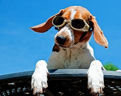 Cool Hound Luke (Paguma / Darren) Tags: blue sky dog goggles hound floyd doggles tamronspaf1750mmf28xrdiiildasphericalif
