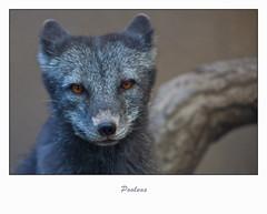 Blijdorp-5723 (Arie van Tilborg) Tags: zoo rotterdam blijdorp dierentuin diergaarde rotterdamzoo poolvos arievantilborg