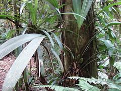 Cyclanthaceae - Carludovica rotundifolia H. Wendl. ex Hook. f. (Jardn Botnico Nacional, Via del Mar, Chile) Tags: costa rica carrillo braulio brulio