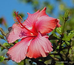 Spring in Cape Town (dorena-wm) Tags: hibiskus kapstadt topshots mixedflowers flowersarebeautiful excellentsflowers natureselegantshots exquisiteflowers mimamorflowers mimamamorflowers greatshotss macroselsalvador dorenawm flickerflrescloseupmacros
