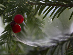webbed berries - copyright R.Weal 200