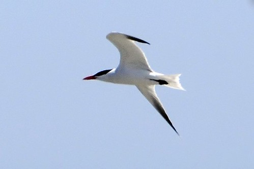 Tern closeup 2