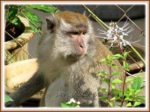 Adult jungle monkey admiring the Cat Whisker's flower!