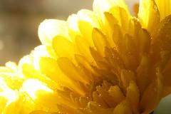 Sunshine (John-Morgan) Tags: flower macro fall sunshine yellow closeup canon droplets 100mm johnmorgan