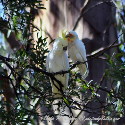 A corella and cockatoo caring for one another