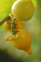 Titty Fruit (Solanum mammosum) (Victor and Patricia Ocampo) Tags: nipplefruit solanummammosum tittyfruit cowsudder appleofsodom mickeymousefruit jacobballaschildrensgarden