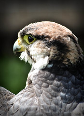 Peregrine Falcon. (Chris H#) Tags: bird closeup head northamptonshire beak feathers falcon magnificent birdofprey s3000 peregrinefalcon holdenbyhouse nikond5000 icarusfalconry