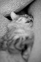 (jimheid) Tags: blackandwhite bw cat tabby gray doc