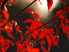 Deep Red (Peter Nyhln) Tags: autumn closeup leaf sweden olympus autumnleaves hst autumnleaf hstlv e520 photoshopelements7 olympuse520 100commentgroup peternyhln