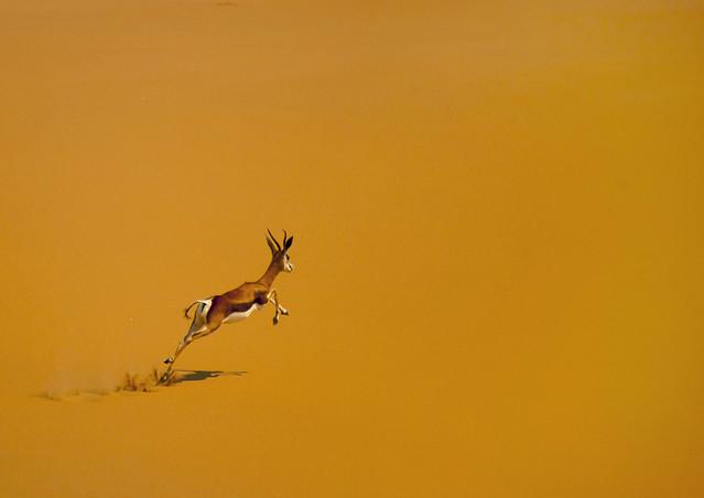 Impala in desert - Angola