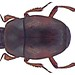 Halacritus punctum (Aubé, 1842)