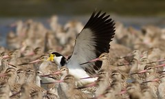 Not Drowning, Waving (petefeats) Tags: maskedlapwing toorbul