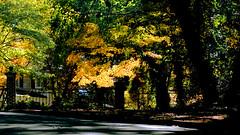 The Fence, in Autumn (RufusZulu) Tags: autumn fall fence gate raw southcarolina explore japanesemaple paintshoppro rumi colemanbarks hff maxxum5d rockhillsc mywinners persianpoetry pspx2 kycmhts