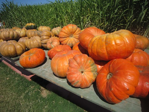 Sweet Berry Farms Pumpkin Patch