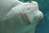Ray Smile (alykat) Tags: fish chicago smile 50mm aquarium stingray sheddaquarium t2i