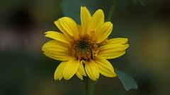 Flower power - yellow (hobbitbrain) Tags: flower macro yellow tamron