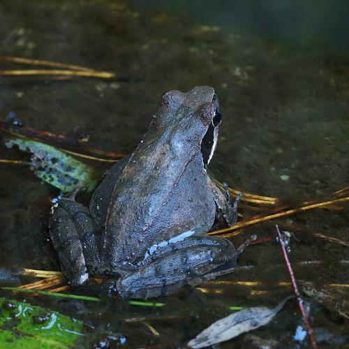 梭德氏赤蛙