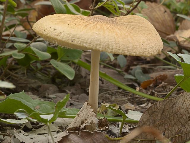 Marais Temps Clair Conservation Area, in Portage des Sioux, Missouri, USA - mushroom 1