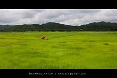 Green Vista (Kamrul - Hasan) Tags: red green landscape photographer paddy sylhet bangladesh tanguar moheshkhola