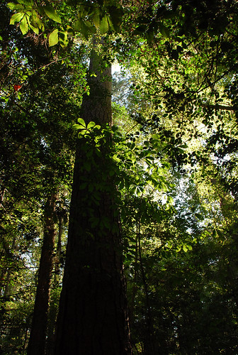 Congaree 10-10-10 Giant Loblolly