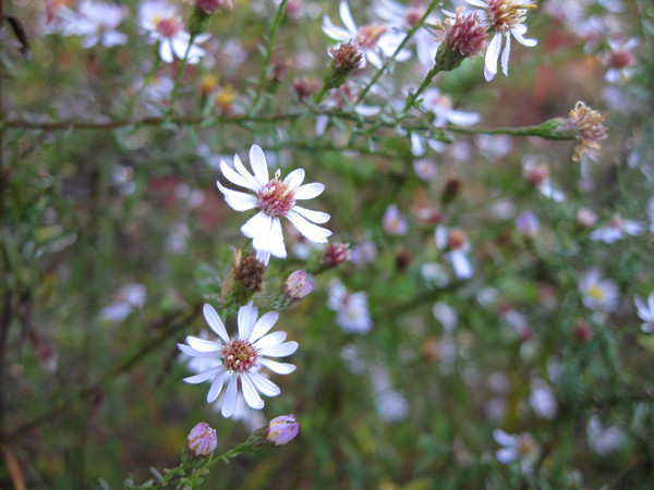 tiny-white-asters