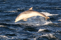 Bottlenose dolphin calf (Ally.Kemp) Tags: wild point scotland marine dolphin wildlife scottish dolphins breeze calf mammals leap leaping breaching moray rosemarkie blackisle firth chanonry bottlenose breach fortrose rossshire