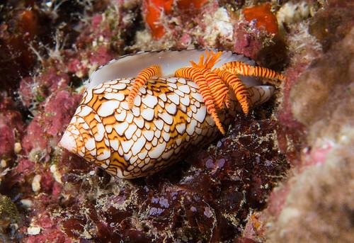 Coneshell Hermit Crab