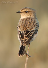 Eastern Stonechat     () Tags: winter female 1st eastern  saxicola stonechat         torquaqtus