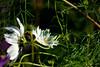 méhecske (naturelover~) Tags: flower virág