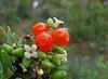 Torvisquera (Daphe gnidium) (Aneto_bcn) Tags: frutosdelbosque
