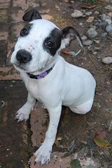 Adopt Owen - Paws n' Time Dog Rescue