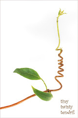 tiny twisty tendril (judith511) Tags: spiral vine tendril tiny twisted ourdailychallengestartingwitht