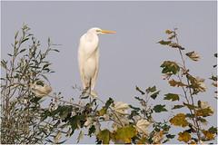 AIRONE BIANCO - Egretta alba (ric.artur) Tags: bird nature nikon natura ali uccelli piemonte po animali naturalmente airone volatili naturae aironi naturaee